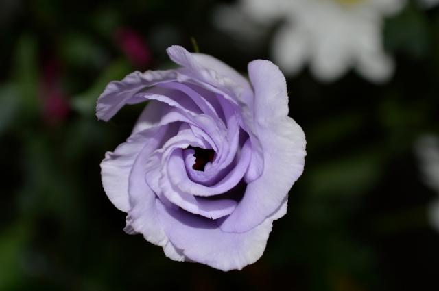Vortice Viola